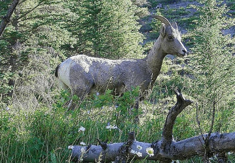 在健行活動時所看到的大角羊